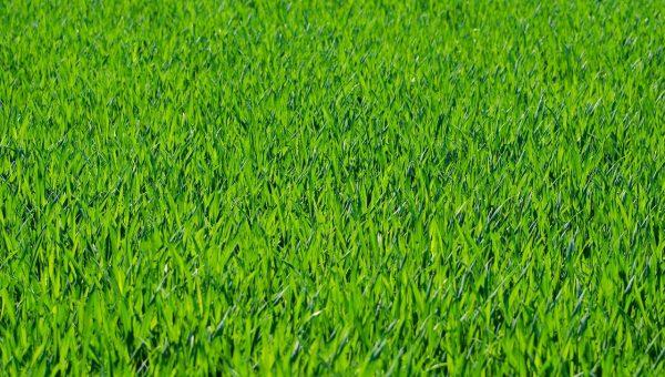 Quand semer du gazon ?